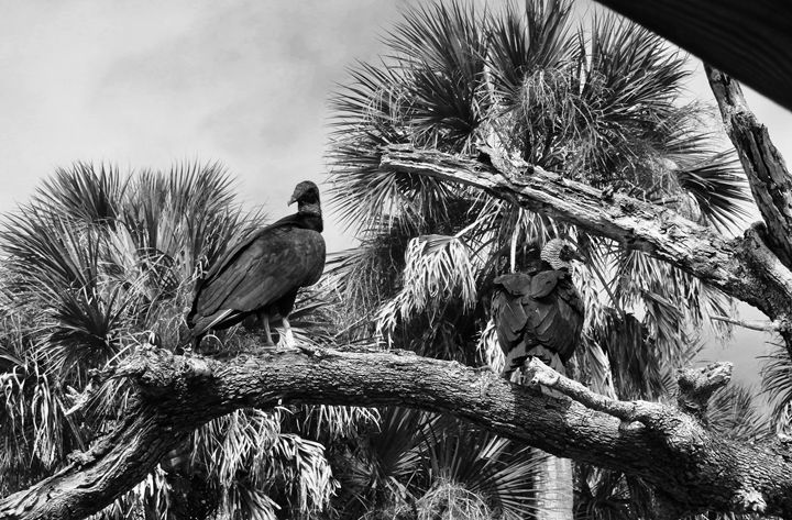 Florida Black Vultures - Shelley Photography