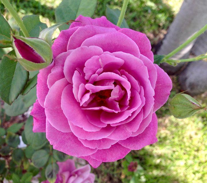 Pink Rose in Bloom - Shelley Photography