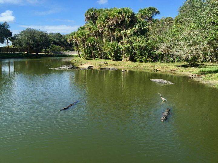 Alligators and crane - Shelley Photography
