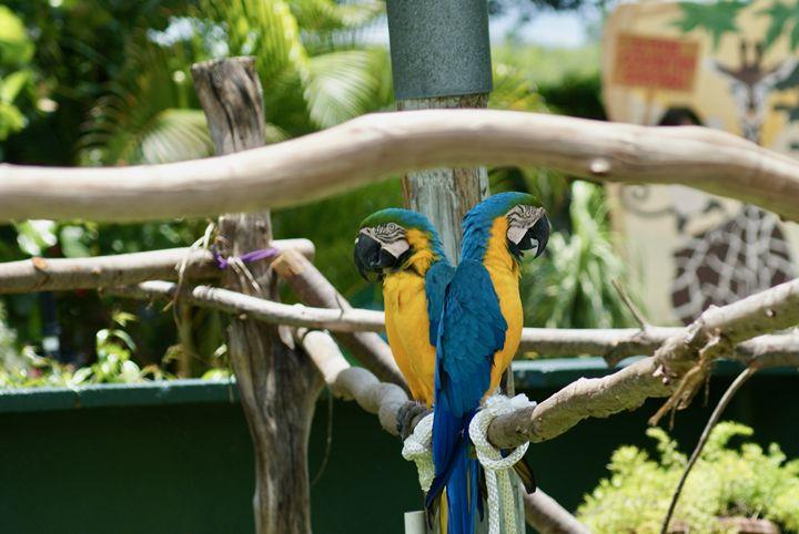 Parrots - Shelley Photography