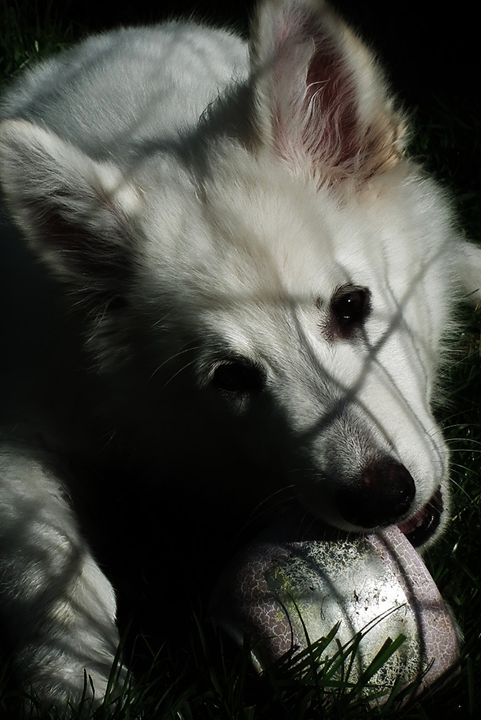 White German Shepherd - Bev Wallace Fine Art