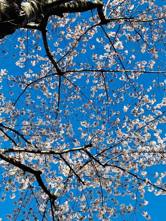 Spring blossoms - Art anything