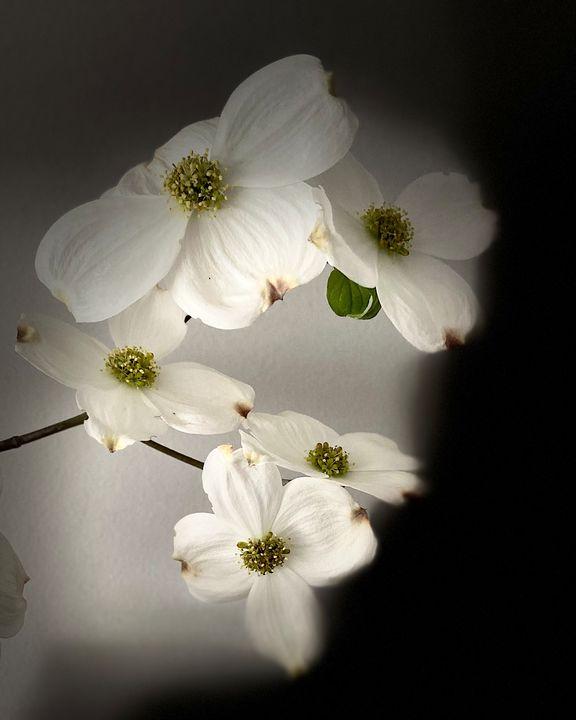 White flowers - Art anything
