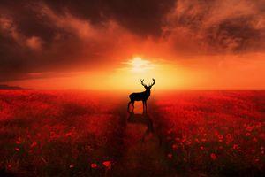 Poppy Field Dreams - Jennifer Woodward