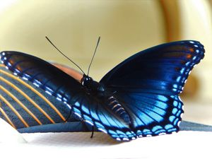 Black and Blue Beauty - Distorted Rainbows