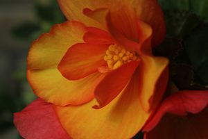 Begonia Sunset
