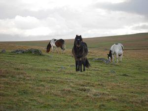 Ponies on Bodmin Moor 02