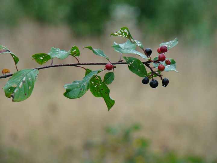 branch with berries - Henyk