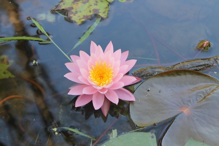 Sacred Lotus - Justin's Works