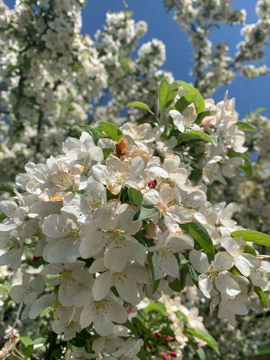 Shiroi Kireina Blossoms - Paradise Gallery