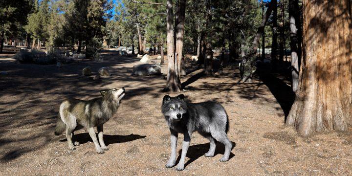 Grey Wolves - Digital Art Prints