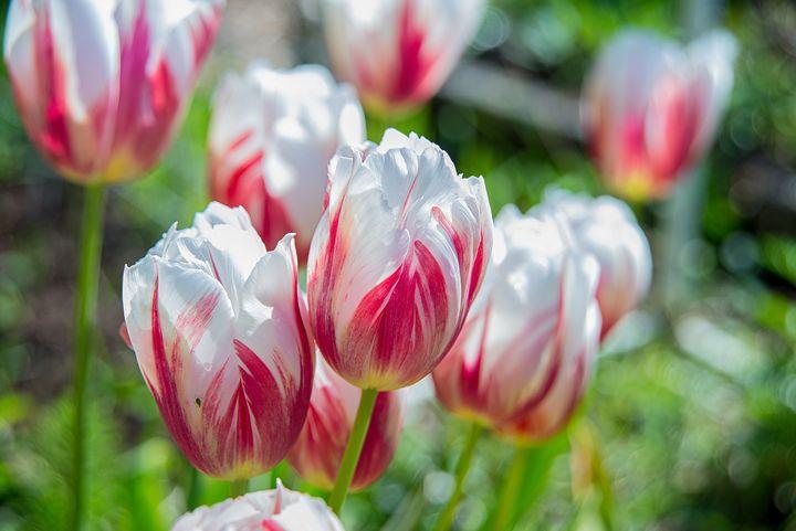 Red and White tulips - YURI LEVCHENKO PHOGRAPHY