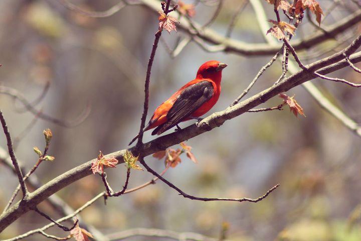 At Rest-Scarlet Tanager - phos illuminare