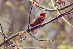 At Rest-Scarlet Tanager - phos illuminare