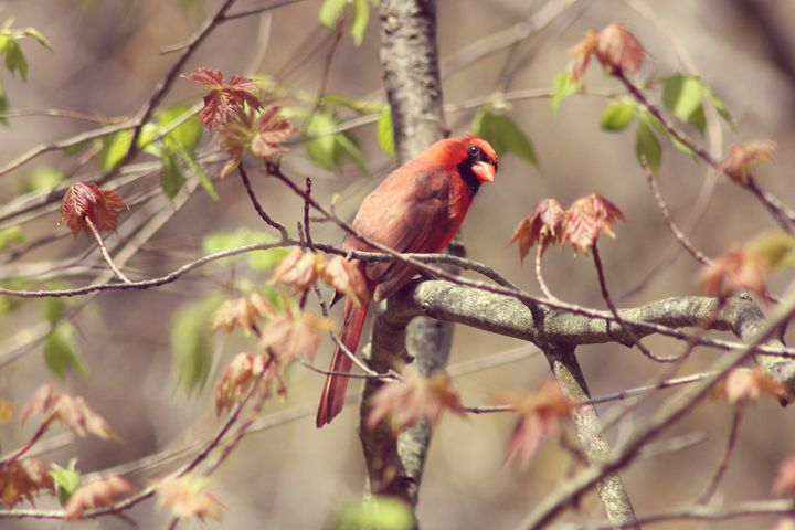 Listening-Male Cardinal - phos illuminare