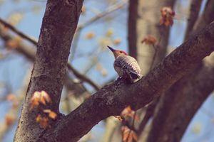 Resting-Woodpecker