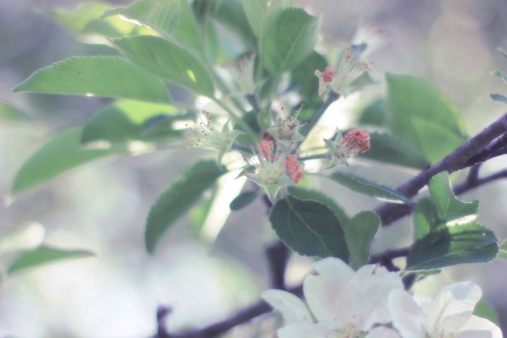 Apple in Bloom 5 - phos illuminare