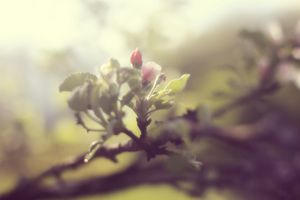 Apple in Bloom 3