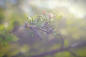 Apple in Bloom 2