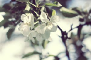 Apple in Bloom 6