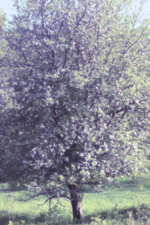 Apple in Bloom 7 - phos illuminare
