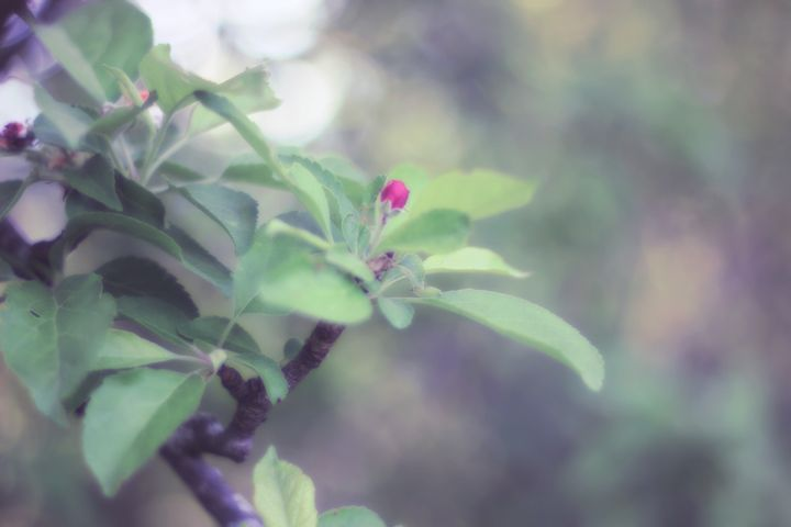 Apple in Bloom 8 - phos illuminare
