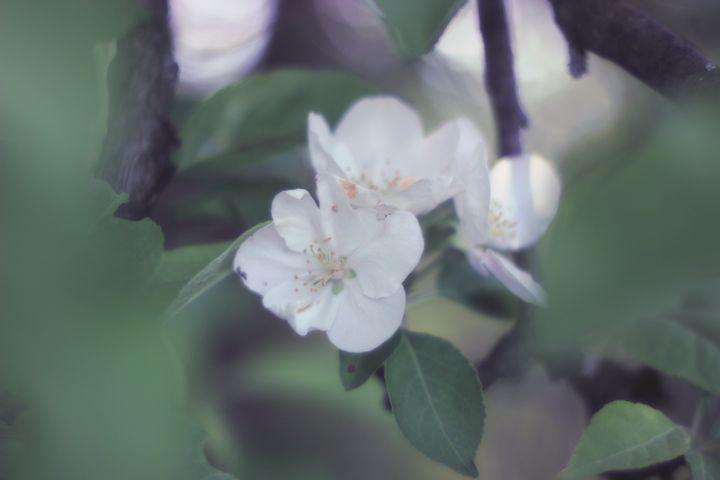 Apple in Bloom 9 - phos illuminare