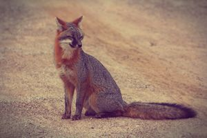 Smiling-Grey Fox
