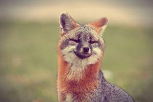Alert-Grey Fox