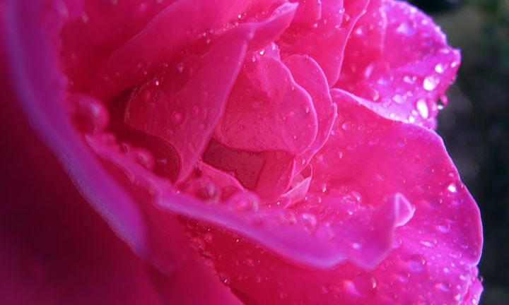 rose of the pink variety 4 - BIG Teezy