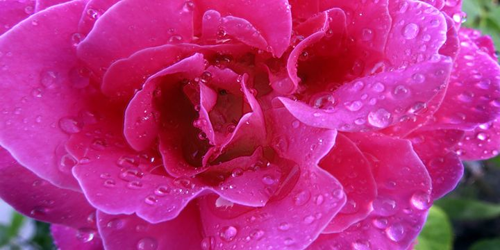 rose of the pink variety 2 - BIG Teezy