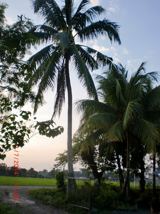 afternoon coconut tree - detour625