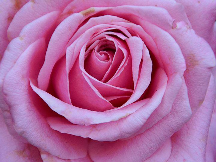 Blooming Rose - Joe Cruz Photography