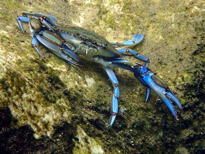 Salt Springs Blue Crab - Joe Cruz Photography