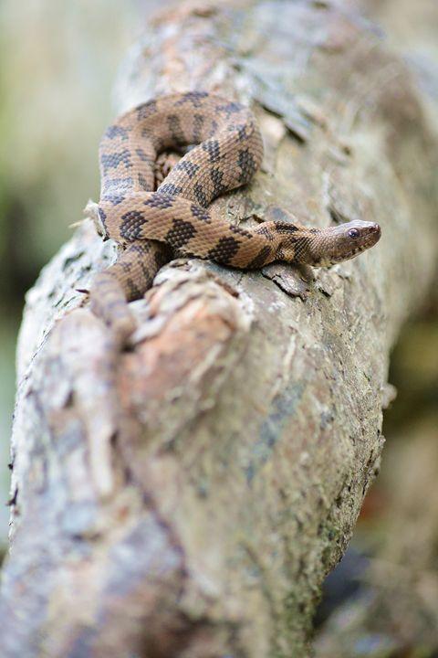 Brown Water Snake - Joe Cruz Photography