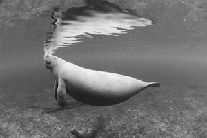 BW Manatee - Joe Cruz Photography
