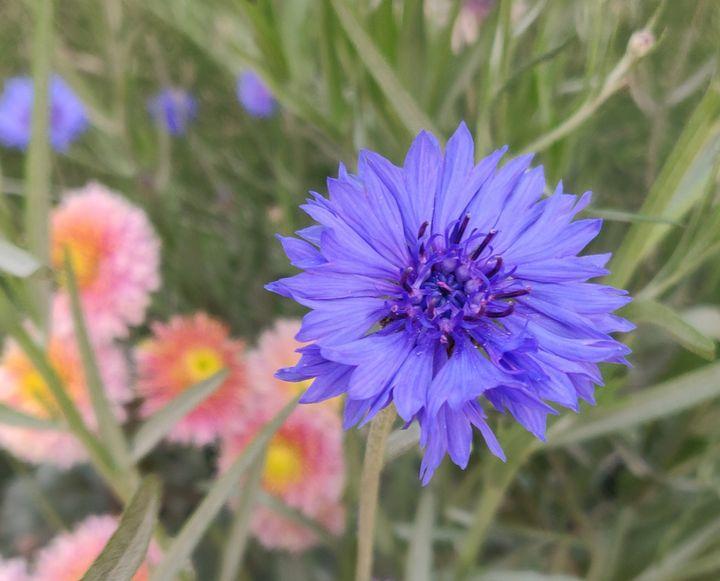 Purple spring - Vistoso