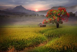 Beautiful morning in the rice field