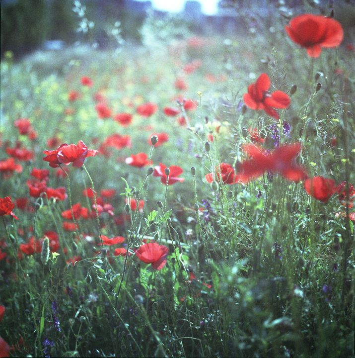 Red wild poppy flowers on green Hass - edwardolive