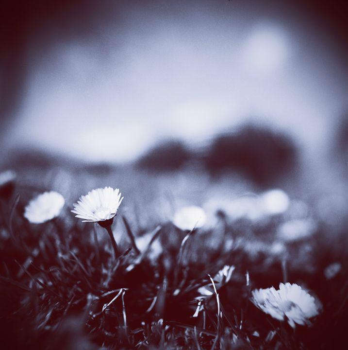 Daisies on lawn blue closeup macro - edwardolive