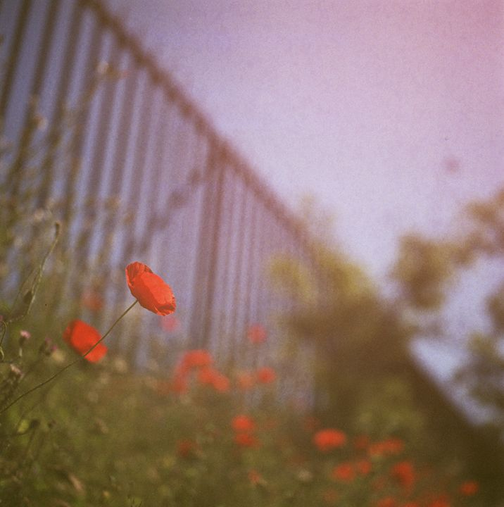 Poppies growing up fence in summer - edwardolive