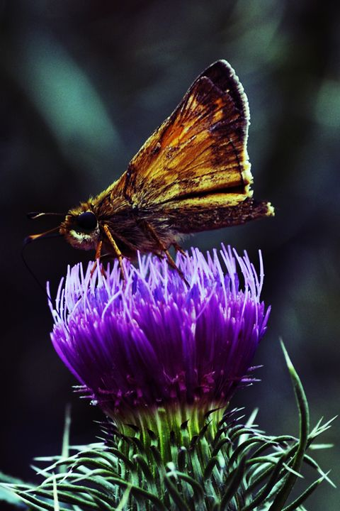 Butterfly and Thistle - Michael Kaczor