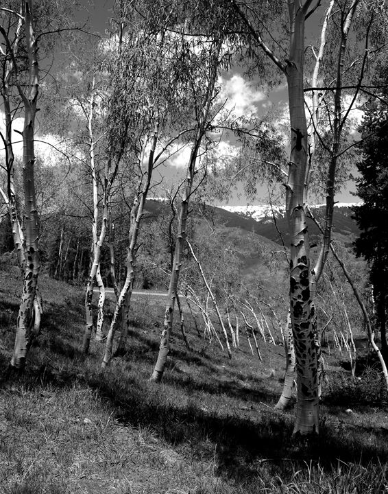 Aspen trees 025 - Bill Love