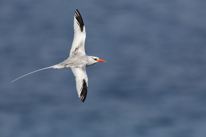 Courtship Flight - Bird & Wildlife Photography