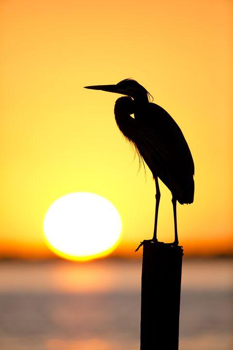 Sunset Silhouette - Bird & Wildlife Photography