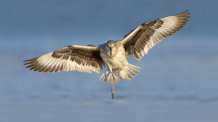 Lagoon landing - Bird & Wildlife Photography