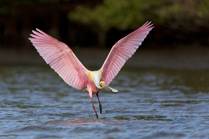 Pink Display - Bird & Wildlife Photography