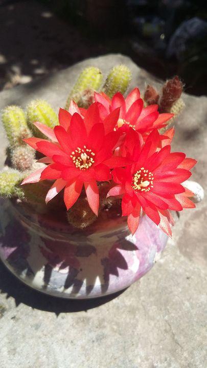 cactus flower - mauriciodelos