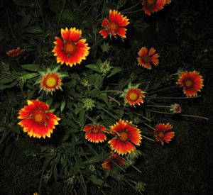 Goblin Blanket Flower at Night