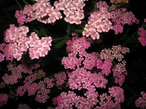 Pink Yarrow at Night